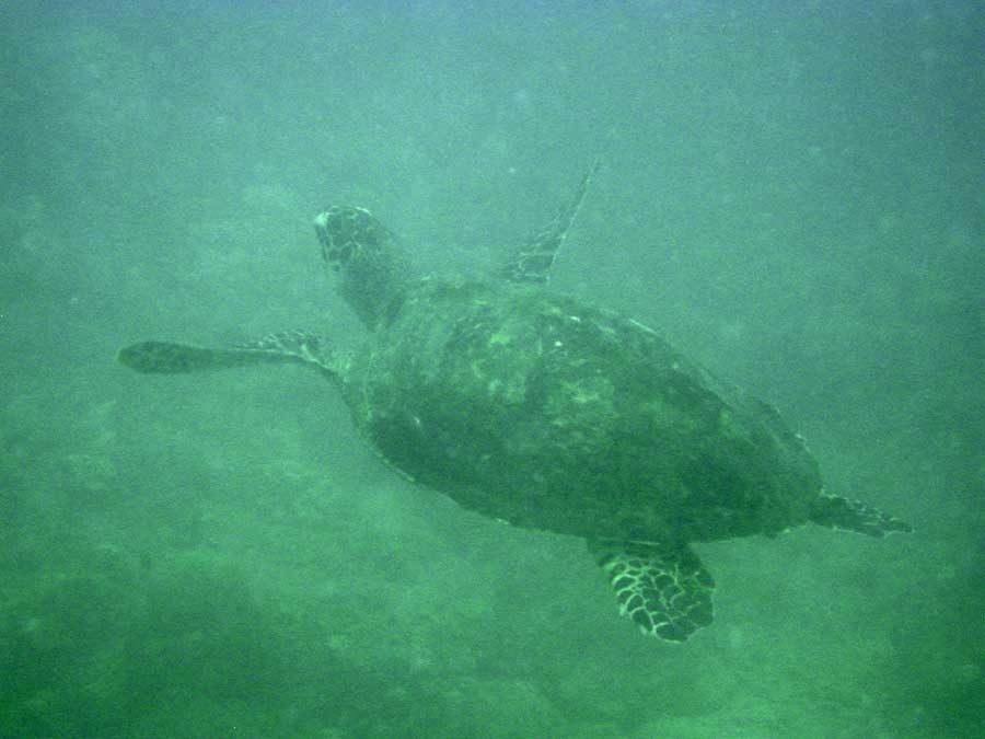Redang Diving Turtle