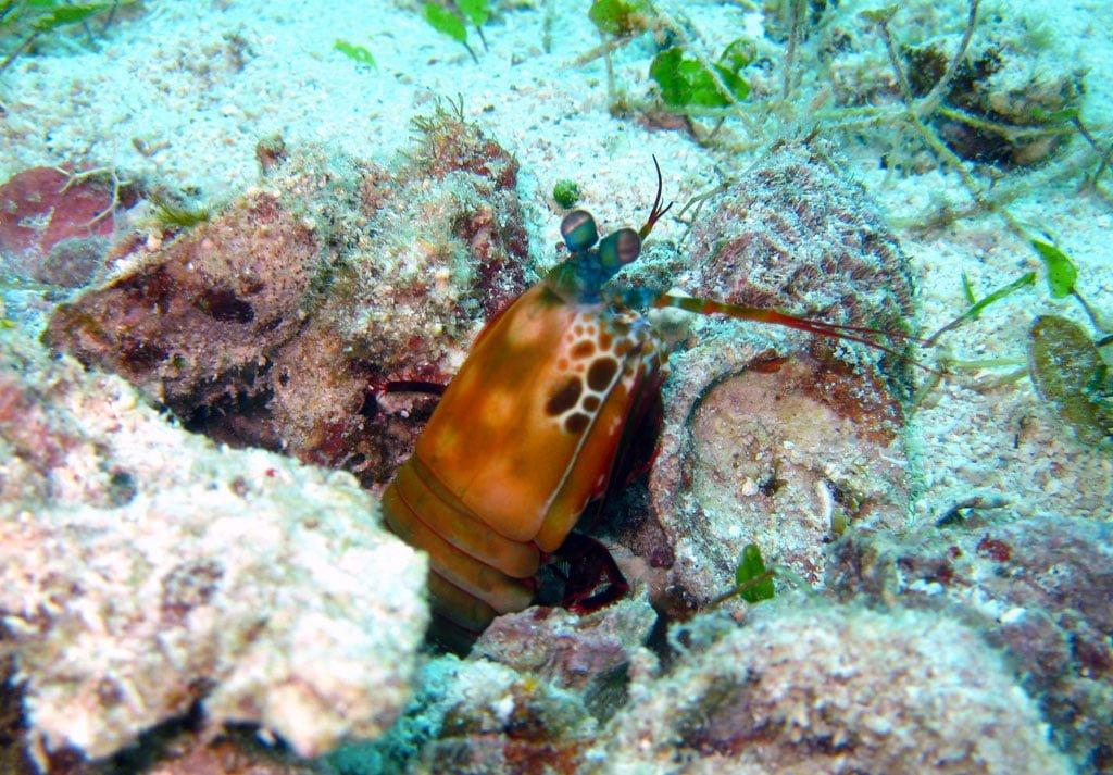 Cebu Malapascua Mantis Shrimp