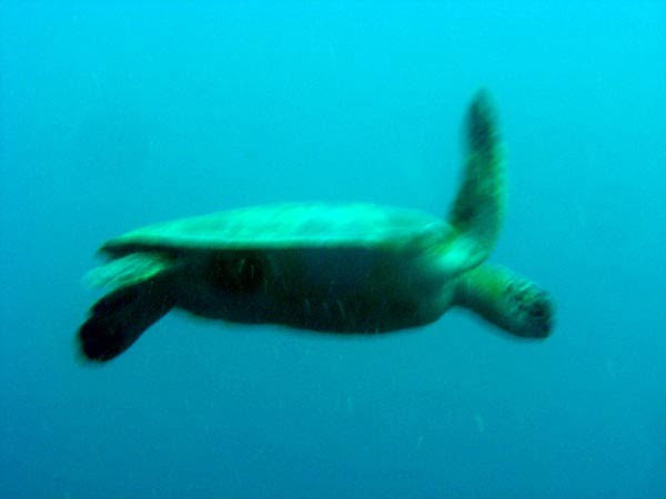 Cebu-Diving-Turtle-Blur