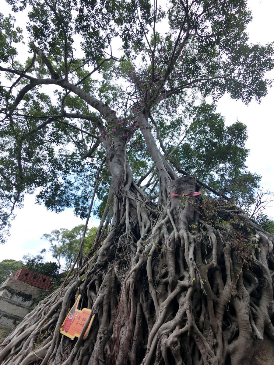 Xiamen Hulishan Fortress Banyan Tree
