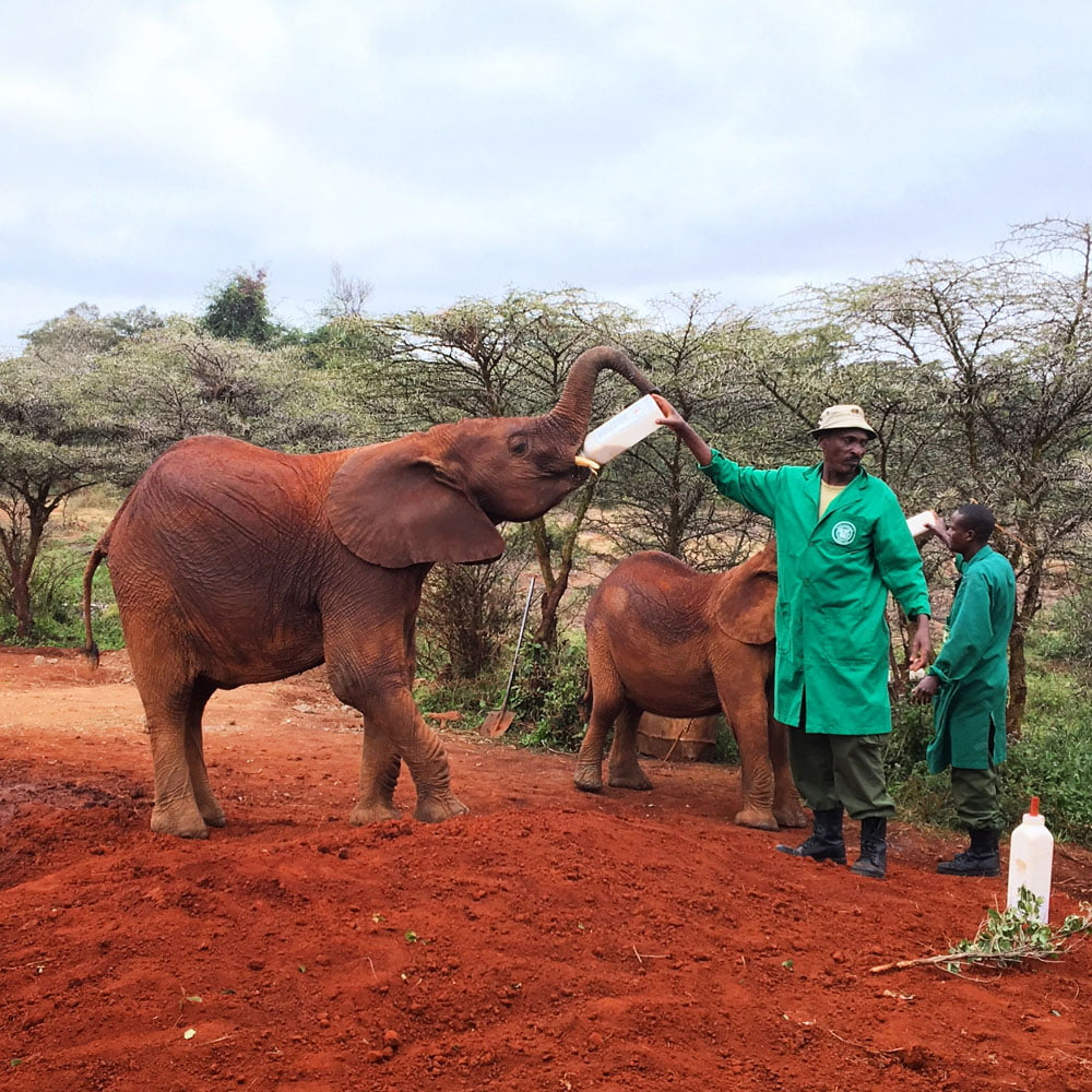 Kenya Nairobi David Sheldrick Elephant Feeding