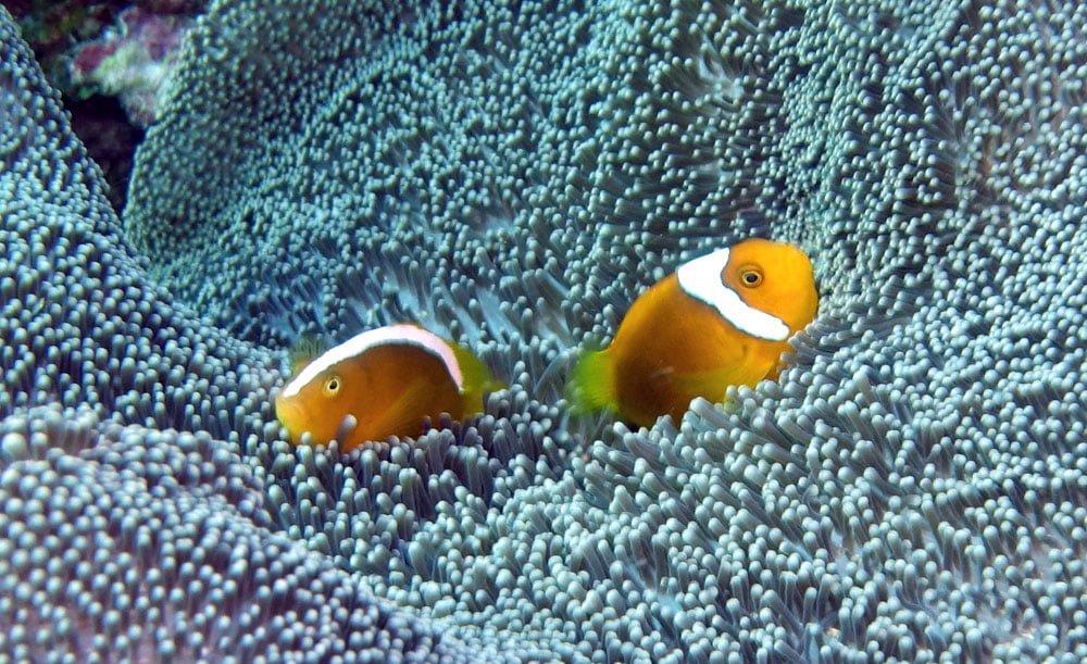 Raja Ampat Diving Clownfish Pair Mioskon