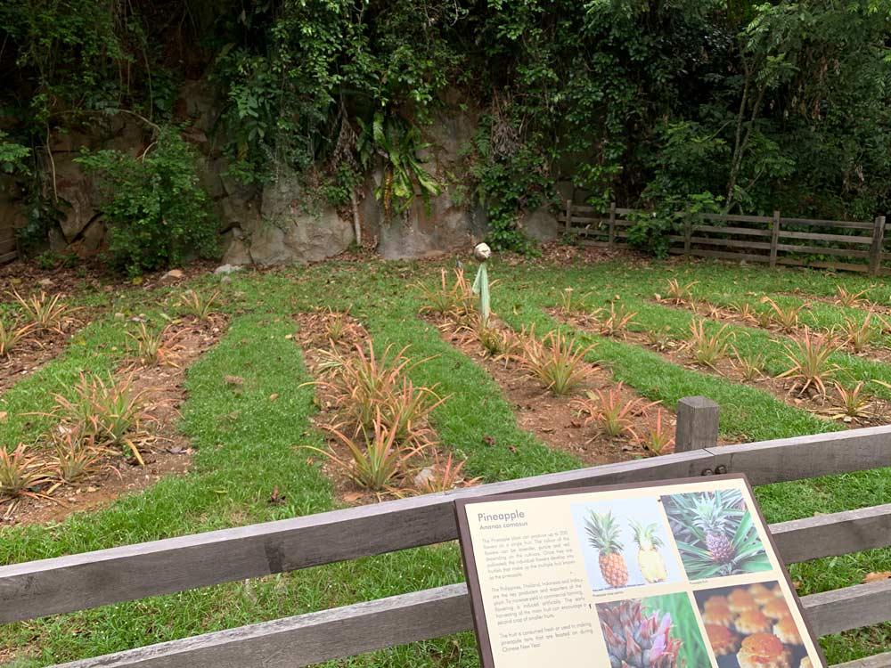 Pulau Ubin Sensory Trail Pineapple